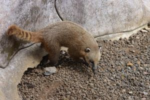 Ring tailed coati or South American coati by A1Z2E3R