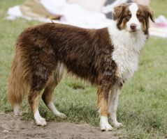 Border Collie 4 by Lakela
