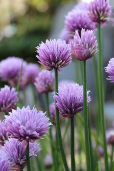 Chives. by maxxy12