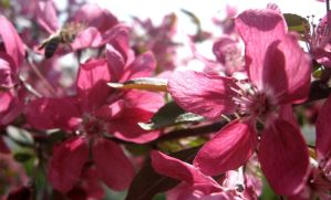 Crabapple blossoms by NetRaptor
