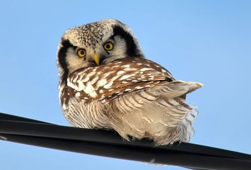 Northern Hawk-Owls by nordfold