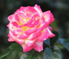A  rose by finhead4ever