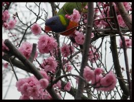 Birds Love Sakura - 5 by Lilithia