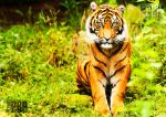 Young Sumatran Tiger by PictureByPali