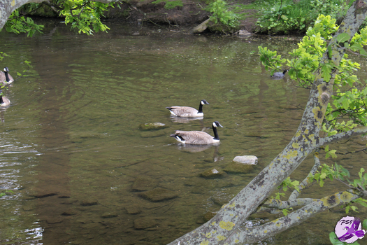 Geese and a coot by PurpleSallyJay
