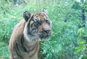 tiger 3.6 by meihua-stock