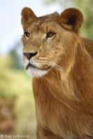 young lion by Yair-Leibovich