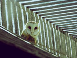 barn owl by h20baby93