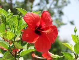 hibiscus by charlieest