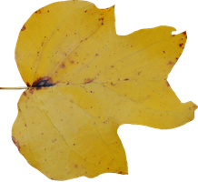 Poplar Leaf PNG 01 by Thy-Darkest-Hour