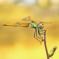 Dragonfly III by buzadam