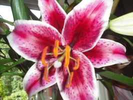 Pretty Pink Lily by Lucinda-Emma