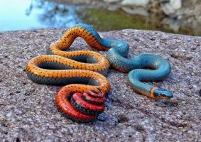 Regal ring necked snake by Playboy1204