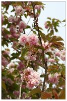 Orchard Blossoms by ashleytheHUNTER