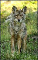 coyote by RichardRobert