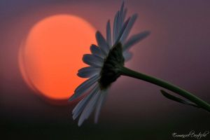 Flower of the evening by emmanueldautriche