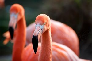 American Flamingos by DeniseSoden