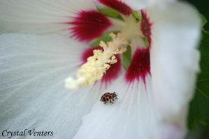 Ladybug on Rose of Sharon 2 by poetcrystaldawn