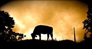 Swiss Cow at Sunset by blimpaway