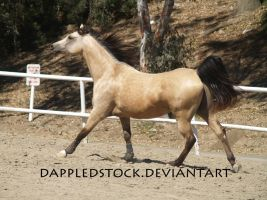 Buckskin Arabian 07 by dappledstock