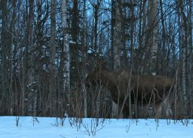Moose among the trees by RevoltingChaos