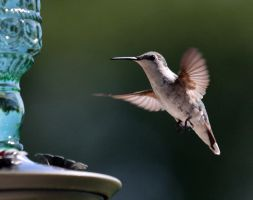 Hummingbird XIV by Mischi3vo