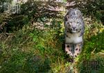 The snow leopard by PictureByPali
