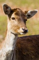 Bambi by mortenthoms