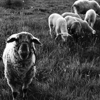 Sheeps and lambs by Stilllife-Txa