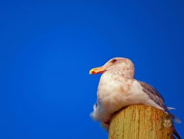 The Blue Sky Seagull by wolfwings1