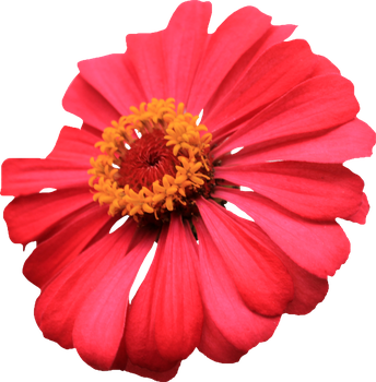Red Single Layer Zinnia PNG by Thy-Darkest-Hour