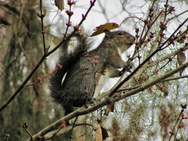 Img 9363 Eastern gray squirrel by Emakura