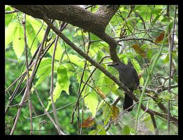 Catbird by Cillana