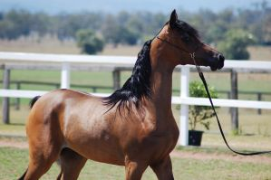 GE arab filly bay close up side view by Chunga-Stock