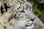CloseUp Leopard by Mavrakis-Portraits