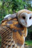 Barn Owl by insanenigma