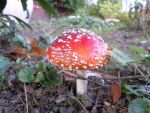 Amanita muscaria ( fly agaric vliegenzwam) by dreamwalker6677