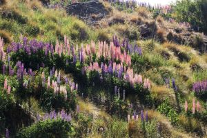 NZ mountain side flowers in sun by Chunga-Stock