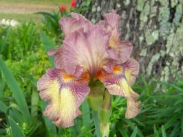 Bearded Iris by TheLordTaxus