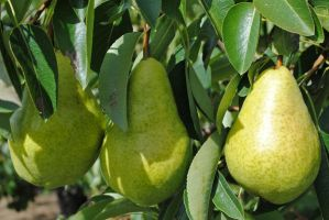 Three pears in a row by LucieG-Stock