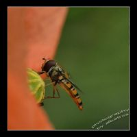 poppy and Hoverfly by albatros1