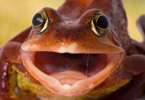 Frog yawn by AngiWallace