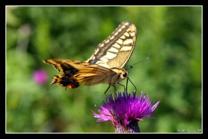 Butterfly on the flower by Keith-Killer