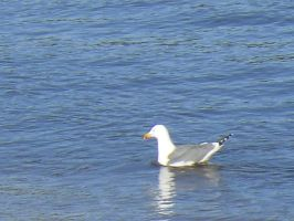 A seagull swimming in the water by Natalia-Clark