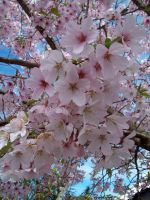 Cherry Blossoms 2 by Applemac12