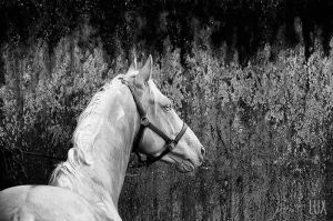 Cremello Stallion by LuxLucie
