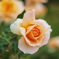 May day roses by Kounelli1