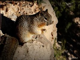 Squirrel......Grand Canyons... by gintautegitte69