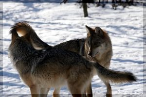 Mexican Wolves by DevilChildVorn