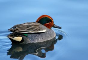 Green-winged Teal by Tinap